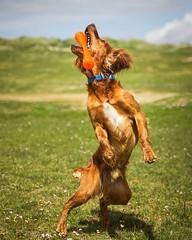 Catch Champion 2017!• • • • • #campingwithdogs #hikingwithdogs #dogsonadventures #dogsthathike #adventuredog #thestatelyhound #houndandlife #backcountrypaws #doglove #hikingdogsofinstagram #excellent_dogs #adventureswithdogs #topdogphoto #heelergram #hiki (watson_the_adventure_dog) Tags: catch champion 2017• • campingwithdogs hikingwithdogs dogsonadventures dogsthathike adventuredog thestatelyhound houndandlife backcountrypaws doglove hikingdogsofinstagram excellentdogs adventureswithdogs topdogphoto heelergram hikingdog animaladdicts traildog ireland bestwoof campingcollective visualsgang wanderireland instaireland inspireland irishpassion irelandgram campingculture stayandwander
