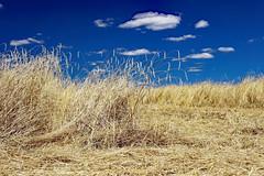 Summertime (Ciceruacchio) Tags: summer estate eté blé wheat grano field campo champ cloud nuage nuvola médoc aquitaine aquitania france francia frankreich nikond750