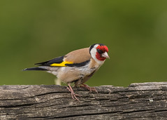 Goldfinch ( Carduelis carduelis ) (Dale Ayres) Tags: goldfinch carduelis caeduelis bird nature wildlife