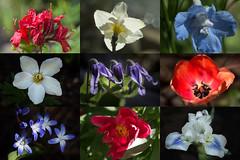 July 4, 2017 (San Francisco Gal) Tags: flower collage fleur bloom blossom azalea daffodil delphinium anemone clematis tulip chionodoxa peony iris macro 4thofjuly july4 independenceday