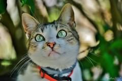 ~~ Charlotte ~~ (Joélisa) Tags: charlotte chat cat gato katz yeux eyes vert green juillet2017
