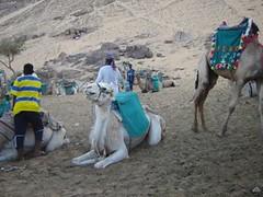 10006 -No son llamas son camellos! (Sun Vacation Club) Tags: pictures vacation sun animal foto internacional fotos concurso desierto animales egipto vacaciones destino camello calidad socio camellos socios artística categoría