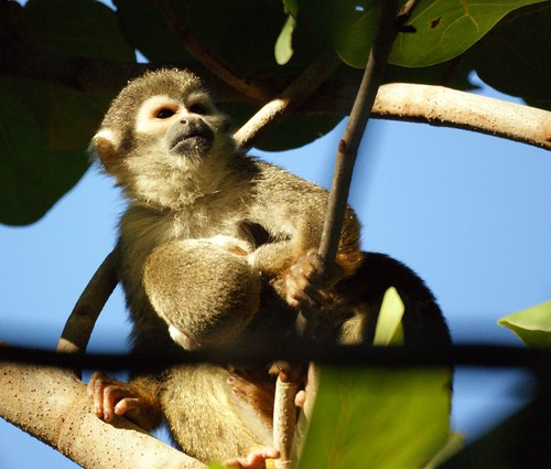 Squirrel monkey- Bonnet House, Fort Lauderdale, Florida