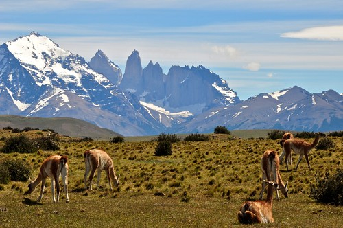 Guanicos in the Chilean Patagonia Mountains