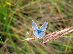 8- Papillon Azuré (Gorges du Tarn et Causses)