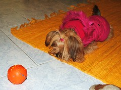 Oh come on, play with meeeeee (ARIELinBLUE) Tags: pink italy orange dog playing yellow cane ball toy carpet funny italia play sad floor yorkshire small jacket tiny messina