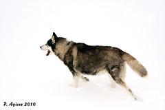 nire txakurra - my dog (Peio Agirre argazkiak) Tags: naturaleza dogs animals canon natura perro animales txakurrak animaliak huskys hotz 40d peioagirre