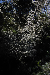 DSC_3906.jpg (lonnie127) Tags:  plumblossoms