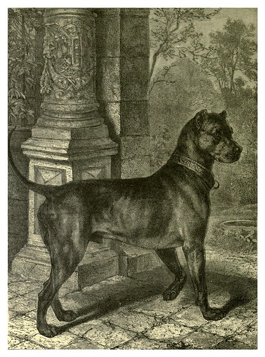 008-Mastin aleman-The illustrated book of the dog 1881- Vero Kemball Shaw