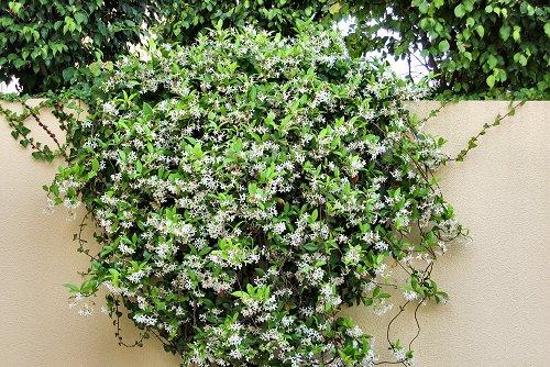 Trachelospermum jasminoides (rq) - 01