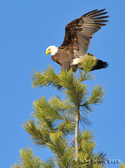 Tree Angel (Deby Dixon) Tags: winter nature photography nikon eagle wildlife gorgeous explorer baldeagle photojournalism bluesky idaho mature