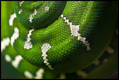 Emerald Tree Boa (keegstr) Tags: macro green scale zoo snake norfolk boa slither 105mm scaley emeraldtreeboa 105mmf28gvrmicro platinumheartaward