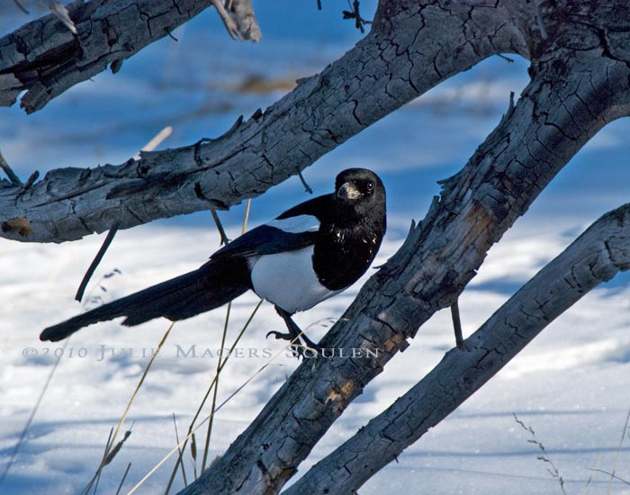 A black-billed magpie rests on a dead branch and inquisitively watches my progress hiking on a snow packed trail in Rocky Mountain National Park.