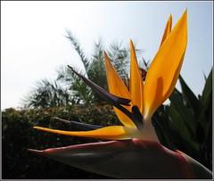 Have a good week! (langkawi) Tags: california light orange sun flower macro birdofparadise langkawi strelitzie flowerscolors goldstaraward