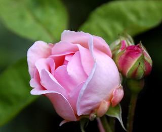 My Birthday  Rose   ....56 today