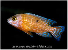 Aulonacara Firefish_800_3 (Bruno Cortada) Tags: malawi marino mbunas cclidos sudafricanos tanganyica