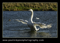 Swan (Paul Simpson Photography) Tags: white bird nature water sunshine bill duck swan wings beak ducks images waterfowl flapping flap scunthorpe openwings photosof imageof outstretchedwings photoof localpond estremit imagesof sonya700 imagesfrom paulsimpsonphotography
