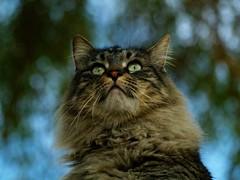 Tiger Bokeh Boy (joecrowaz) Tags: blue trees arizona cats pets green phoenix animals bokeh olympus 300mm zuiko e500
