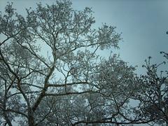 Snowy tree (hugovk) Tags: camera winter sea snow tree ice digital suomi finland frozen helsinki branch snowy walk branches january balticsea baltic lookingup helsingfors hvk ullanlinna talvi 2010 tammikuu snowytree uunisaari uusimaa nyland southernfinland imag0924 hugovk geo:country=finland exif:ISO_Speed=50 exif:Focal_Length=77mm digitalcamerads5mp exif:Flash=autodidnotfire exif:Exposure=153 exif:Aperture=30 exif:Orientation=horizontalnormal exif:Exposure_Bias=0 geo:neighbourhood=ullanlinna uudenmaanmaakunta geo:locality=helsinki geo:county=uudenmaanmaakunta geo:region=southernfinland ds5mp camera:Model=ds5mp camera:Make=digitalcamera meta:exif=1364120980