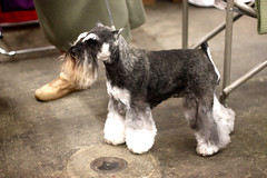 Golden Gate Kennel Club Dog Show