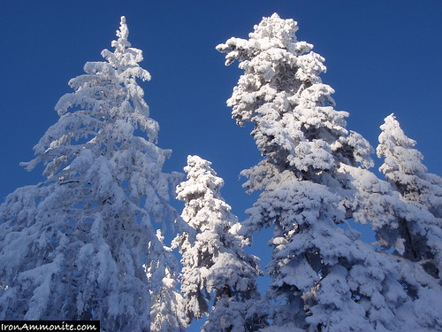 Evergreen Trees in Snow-5