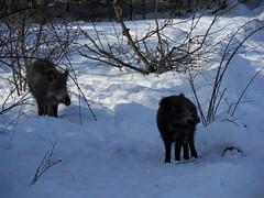 Rangniedrige Wildschweine warten in gebührender Entfernung