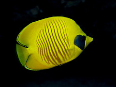 Masked butteflyfish PCF 5520 (Paul Flandinette) Tags: ocean nikon underwater redsea egypt sealife marinelife butterflyfish oceanlife maskedbutterflyfish chaetodonsemilarvatus beautifulfish paulflandinette
