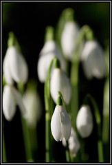 Snowdrops (John Booth) Tags: snowdrops oxfordshire winterflowers