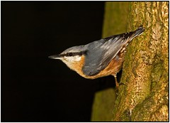 Nuthatch. (anthonynixon17) Tags: nuthatch sigma50500 coombeabbey olympuse510