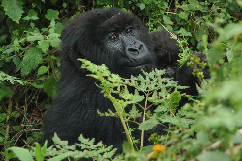 Mountain gorilla -gorila de montaña- (Gorilla beringei beringei)