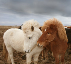 Happy Valentines day. Be kind  to each other (Anna.Andres) Tags: horses anna horse 350d iceland searchthebest canoneos350d soe sland greatphoto hestar icelandichorses banki imagepoetry slenskihesturinn fila rubyphotographer internationalflickrawards photographymypassion sailsevenseas