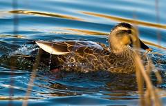 Water Off A Spot-bill's Back (aeschylus18917) Tags: bird nature japan tokyo duck nikon wildlife aves 日本 東京 txt waterfowl anas pxt 鳥 80400mm splashing anatidae spotbilledduck anseriformes 80400mmf4556dvr wateroffaducksback カルガモ d700 80400mmf4556vr danielruyle aeschylus18917 danruyle druyle ダニエルルール anaszonorhyncha