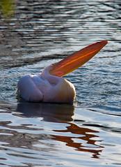 Pelican Beak In Sunlight (aeschylus18917) Tags: park bird nature japan tokyo nikon ueno wildlife beak aves pelican    pelecanusonocrotalus 80400mm   shinobazunoike pelecanus pelecanidae pelecaniformes ature greatwhitepelican 80400mmf4556dvr onocrotalus shinobazupond uenoken uenoimperialgiftpark uenoonshiken d700 80400mmf4556vr  uenopark danielruyle aeschylus18917 danruyle druyle