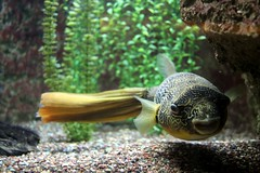 Congo River Puffer by brianandjaclyn, on Flickr