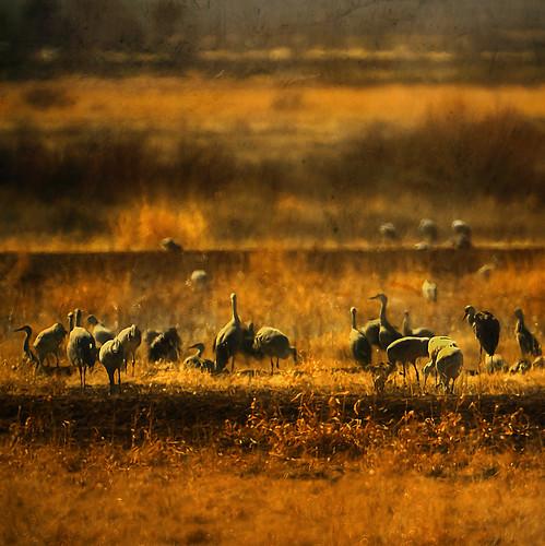 A Siege of Cranes