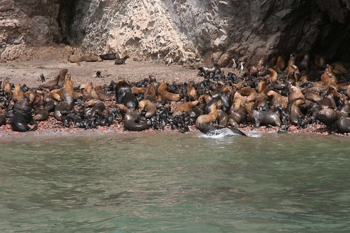 thousands of sea lion babies and mamas!