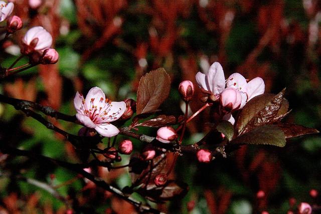 cherries, february 2010