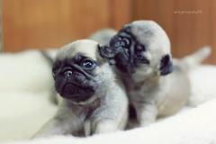 八哥犬 (Pug) (sⓘndy°) Tags: dog cute canon puppy 50mm f14 taiwan