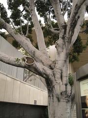 IMG_7383 (gfixler) Tags: tree fig ficus figtree chinesebanyan hugetree largetree curtainfig ficusmicrocarpa indianlaurel ficusnitida ficusmicrocarpanitida