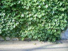 【写真】Leaves (DCC Leica M3)