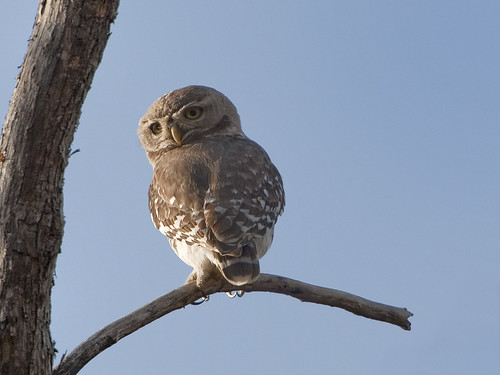 The critically endangered Forest Owlet, Heteroglaux blewitti.