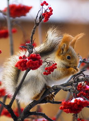 Winter Treats (ressaure) Tags: winter urban nature fauna fur squirrel berries wind fuzzy russia siberia rowan sciurusvulgaris  sciuridae   akademgorodok explored