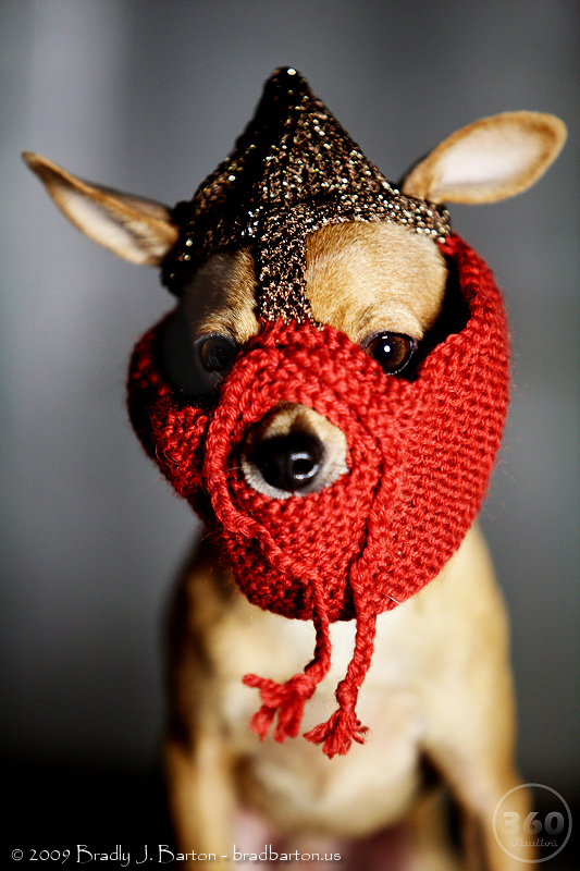 Pixel the Chihuahua in a Knitted Norse Battle Helmet