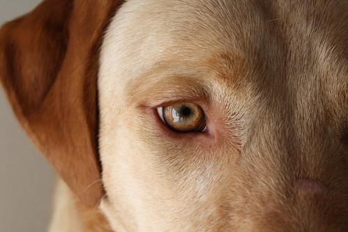Labrador Retriever - Charlie