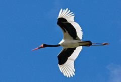 Saddle-billed Stork (Marc_Scott-Parkin) Tags: ephippiorhynchussenegalensis