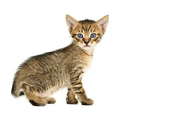 Isolated cat on white background (Sergiu Bacioiu) Tags: pet cats baby pets white playing black cute beautiful animal horizontal standing cat studio fur one furry kitten feline pretty looking view shot little fuzzy sweet expression background small pussy young adorable kitty posing kittens whiskers domestic stare meow curious charming breed haired isolated carnivore pedigree lovable purebred todreamstime