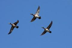 American Wigeon (Anas americana) in flight (Dominic Sherony) Tags: flight ducks american wigeon baldpate