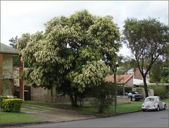 Ivory Curl tree - Australian native (Tatters:)) Tags: street tree australia qld walktowork tanglewood floweringtree proteaceae streettree 2photos middlepark buckinghamiacelsissima buckinghamia arfp australianrainforestplants ivorycurlflower qrfp ivorycurl arfflowers whitearfflowers