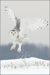 Owl (Snowy) - 1849 (Earl Reinink) Tags: flight raptor snowyowl snowyowlinflight earlreinink wwwearlreininkcom wwwipaintca