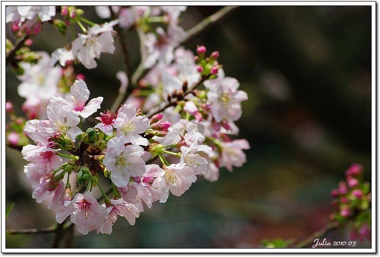 天元宮,櫻花 (2)